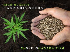 Marijuana Seeds Canada